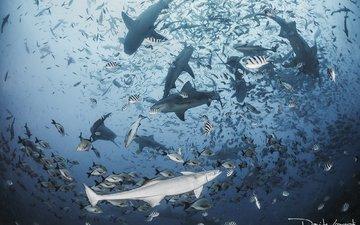 море, рыбы, океан, акула, подводный мир, акулы, davide lopresti