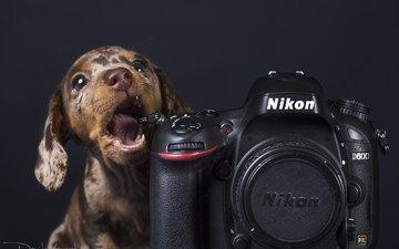 собака, щенок, фотоаппарат, такса, никон, davide lopresti