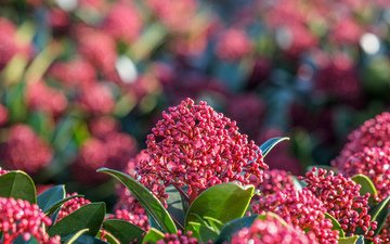 nature, flowering, leaves, background, plant, inflorescence, shrub, skimmia