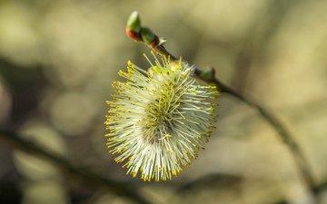 ветка, природа, фон, размытость, весна, верба