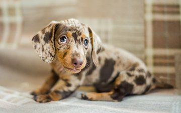 глаза, мордочка, взгляд, собака, щенок, такса