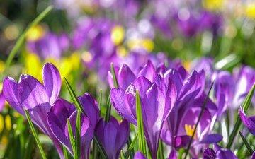 цветы, весна, фиолетовые, крокусы, крокус, шафран