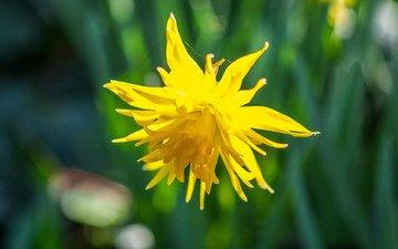 природа, желтый, фон, цветок, размытость, нарцисс