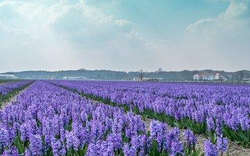 цветы, поле, дома, голландия, гиацинты
