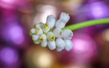 цветы, весна, белые, мускари
