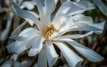 цветы, цветение, весна, белые, магнолия, jazzmatica