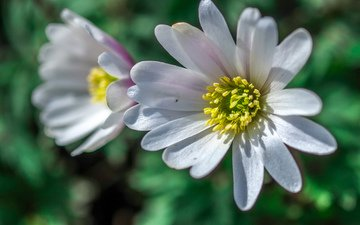 цветы, макро, лепестки, размытость, jazzmatica