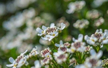 цветы, лепестки, весна, белые, jazzmatica