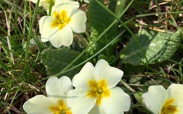 цветы, природа, весна, примула