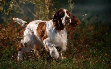 природа, собака, спаниель, анастасия ветковская, английский спрингер-спаниель