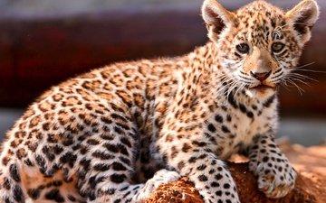 eyes, muzzle, look, jaguar, baby