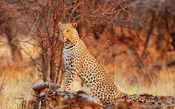 nature, leopard, predator, jaguar, wild cat, grace