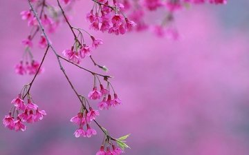flowering, spring, pink, sakura, flowers