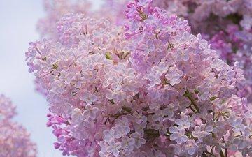 цветы, цветение, ветки, весна, сирень