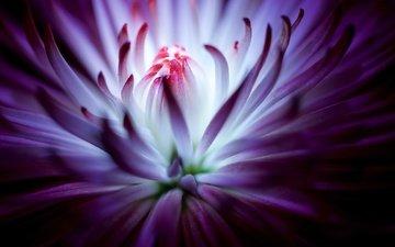 цветок, фиолетовый, хризантема