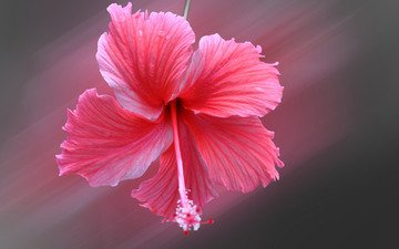 цветок, лепестки, пестик, размытость, гибискус
