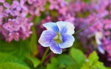 цветы, цветок, весна, сирень, герань