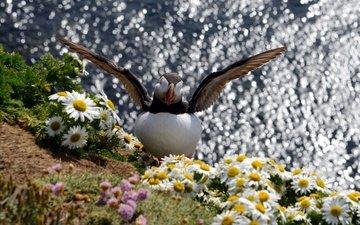 цветы, вода, крылья, блики, птица, ромашки, тупик, puffin