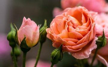 цветы, бутоны, макро, розы