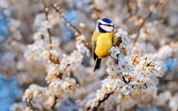 цветы, цветение, ветки, птица, весна, лазоревка, крылова татьяна