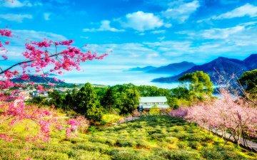 небо, цветы, облака, деревья, горы, цветение, весна, тайвань, сакура