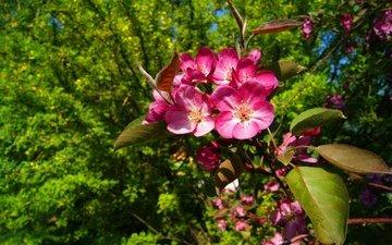 цветы, деревья, ветка, цветение, листья, макро, лепестки, весна, цветущие, соцветие, кустарники