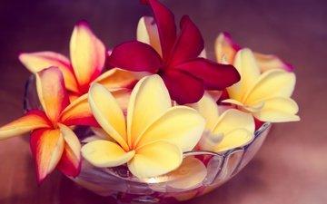 цветы, экзотика, миска, плюмерия, франжипани