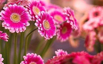 цветы, лепестки, герберы