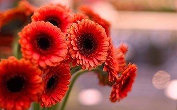 цветы, лепестки, красные, герберы