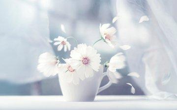 цветы, лепестки, чашка, занавески, космея