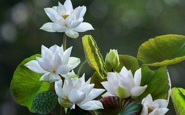 цветы, листья, лотосы, боке