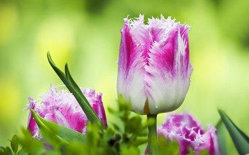 цветы, листья, макро, весна, тюльпаны