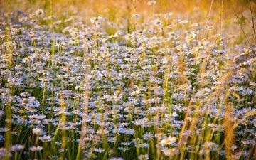 цветы, луг, ромашки, полевые цветы