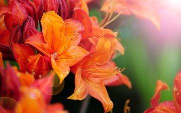 цветы, макро, боке, азалия, рододендрон