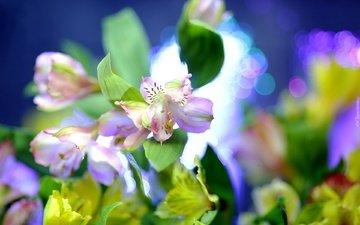 цветы, макро, размытие, альстрёмерия