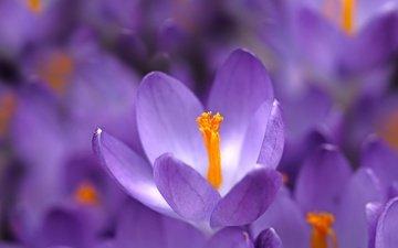 цветы, макро, весна, крокусы