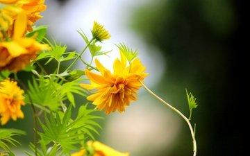 цветы, макро, желтые, рудбекия, золотые шары