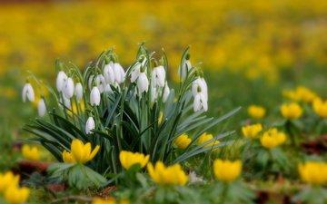 цветы, трава, макро, поляна, размытость, весна, подснежники, первоцвет