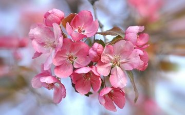 цветы, природа, цветение, лепестки, сад, весна, соцветие
