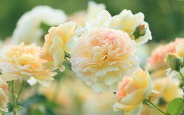 цветы, бутоны, розы, лепестки, размытость, л