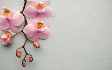 цветы, ветка, розовые, орхидеи