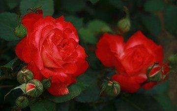 цветы, бутоны, розы, лепестки, куст
