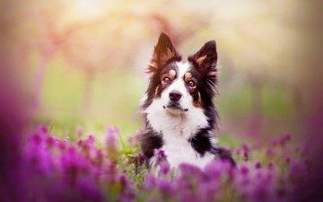цветы, собака, весна, бордер-колли, kristýna kvapilová