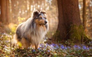 цветы, природа, лес, собака, весна, шелти, sabine fallend