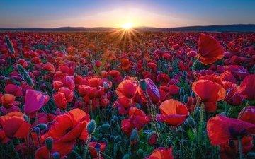 цветы, солнце, лепестки, красные, маки