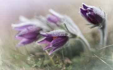 цветы, трава, весна, анемон, сон-трава, прострел