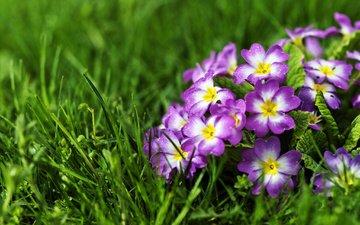 цветы, трава, первоцвет, примулы