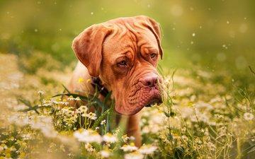 цветы, трава, природа, собака, ромашки, животное, пес, бордоский дог, дог