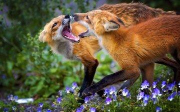 цветы, трава, животные, игра, лисица, лисы