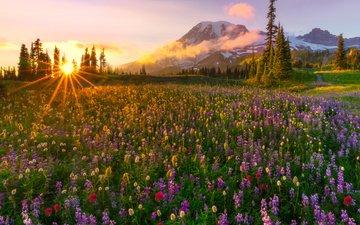 цветы, вечер, горы, солнце, лучи, поляна, ели